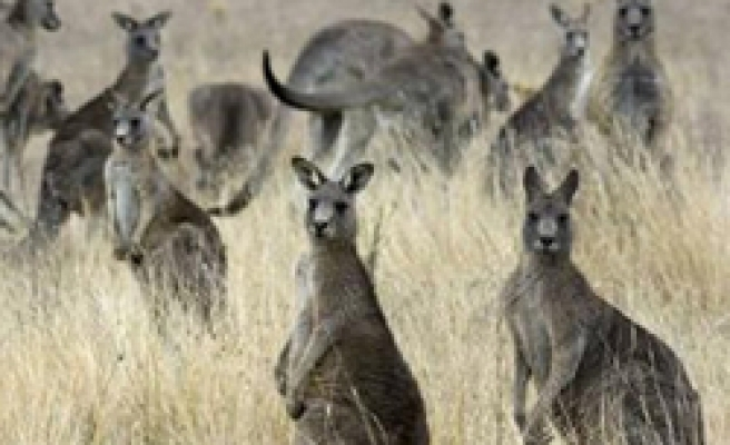 Kangaroo farming would cut greenhouse gases: Study