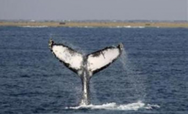 Some big whales recovering since hunt ban: Survey