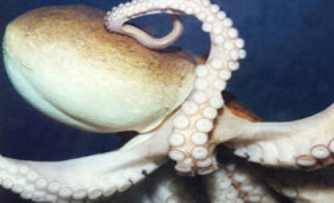 Octopuses have six 'arms' and two 'legs': Study