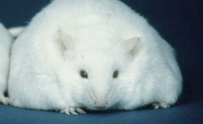 Turkish scientist stops resistence to Leptin in obese mice
