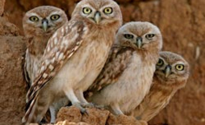 Rare 'brown fish-owl' spotted in Turkey's Taurus mountains