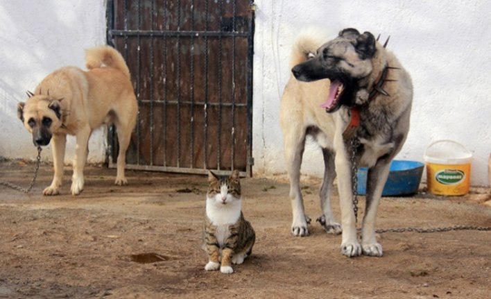 Surprising friendship of cats with Kangal dogs