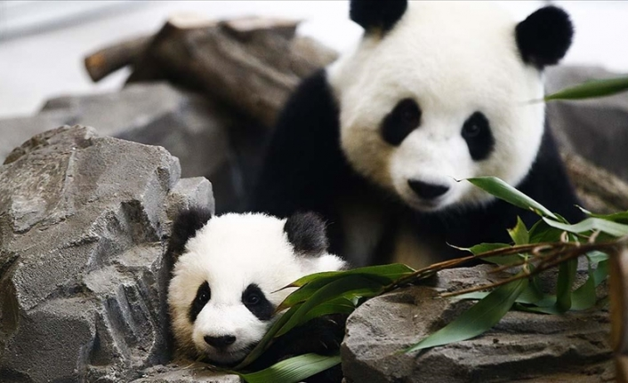 Giant panda gives birth to twins in Madrid