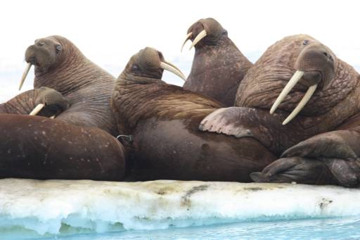 Melting ice forces some walruses to beach in Alaska