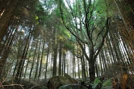A third of world's conifers under threat of extinction study claims