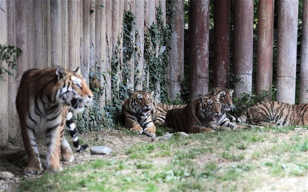 72-year-old man killed by three tigers in Italy