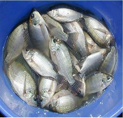 Ugandans' daily protein requirements come from fish