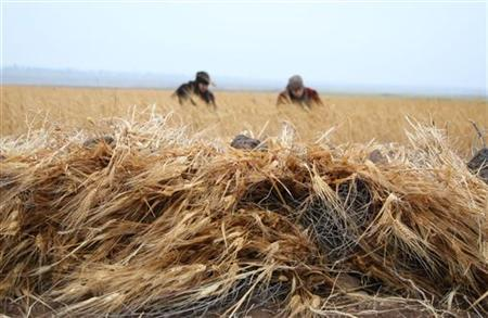 Syrian civil war cut wheat harvest to its worst level
