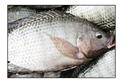 Kenyan fish may be the answer to fight malaria
