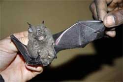 New species of bat, frogs found in Congo forests