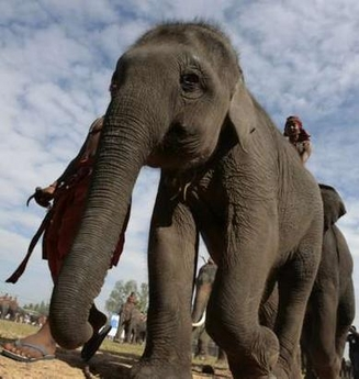 India using 'ghost chili' to repel killer elephants