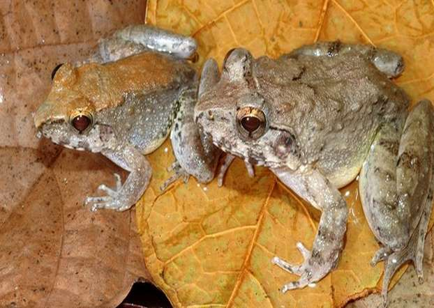 Indonesian frog is one of a kind - and not because of its fangs