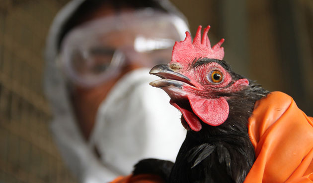 Myanmar culls chickens, quail to contain H5N1 outbreak