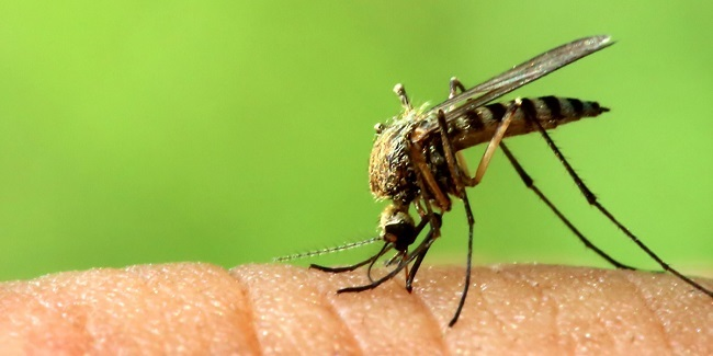 Google to create GM mosquitos to fight diseases