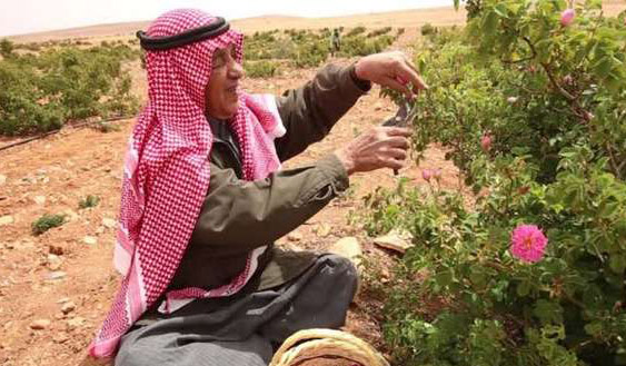 Syria's famous damask rose withered by war