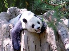 Panda in Japan gives birth to twins
