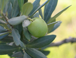 Turkey, Syria to launch project on pistachio, olive farming