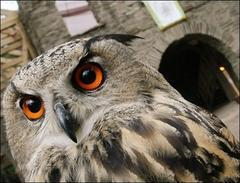Wise old owls have macho moments