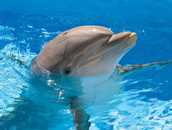 'Sponging' dolphins pass fishing trick from mother to daughter - study