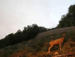 Wildlife moving into urban areas after Los Angeles wildfire