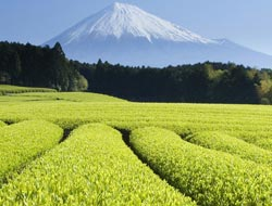Green tea linked to less stomach cancer in women