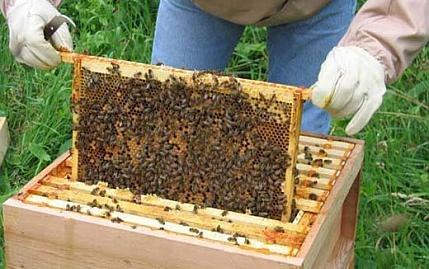 Honey bees death rates are lower than feared- EU study