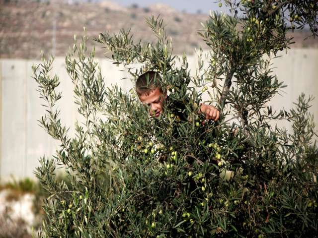 Jewish settlers torch Palestinian olive grove in W. Bank