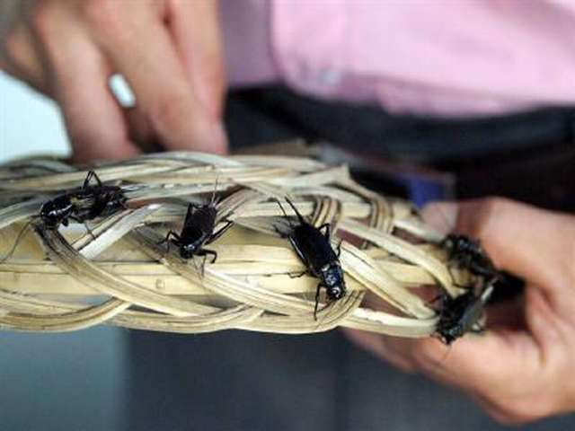 Canadian farmers see crickets as solution to world hunger