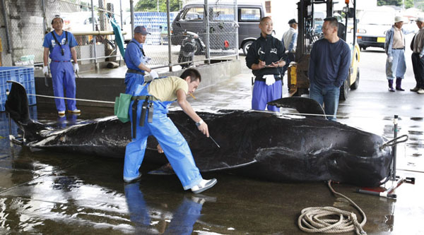 Japanese flotilla sails forth for 'scientific' whaling