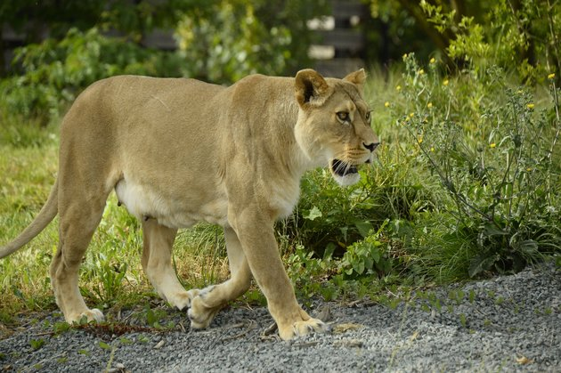 Lions on loose in Kenyan capital