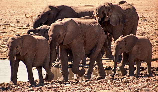 Mass elephant relocation could save populations in Africa