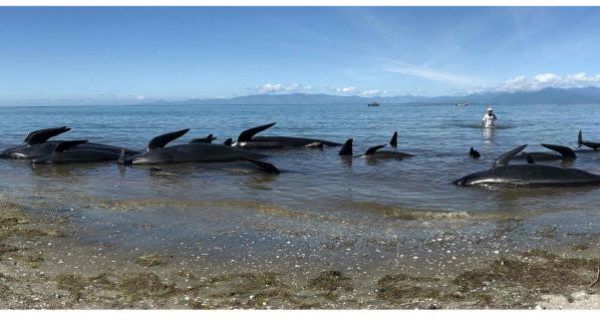 Fears of exploding whales as New Zealand clears carcasses