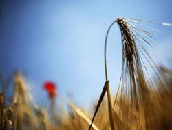 Syria tenders to sell 200,000 T of 2013 wheat crop to Iraq