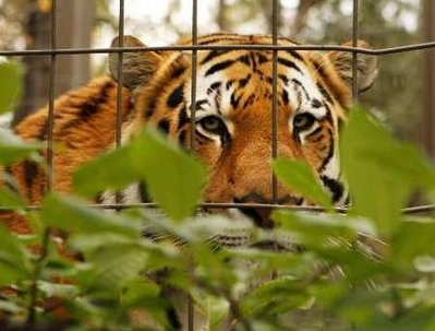 Fears for Putin's tiger as it crosses into China