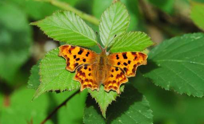 The secrets of the masquerading butterfly are revealed