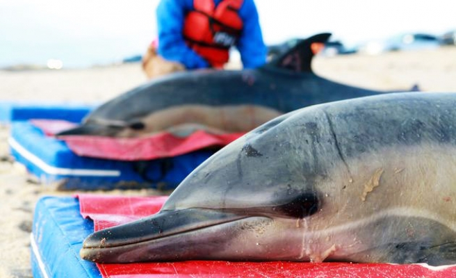 Record 129 dolphins stranded at Cape Cod this year