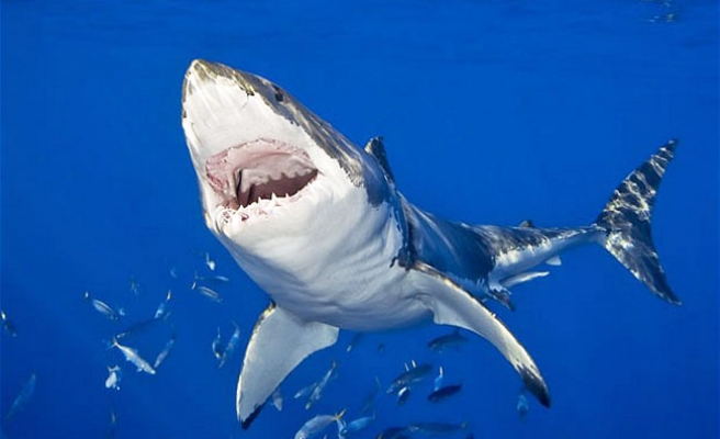 Pregnant great white shark heading towards UK