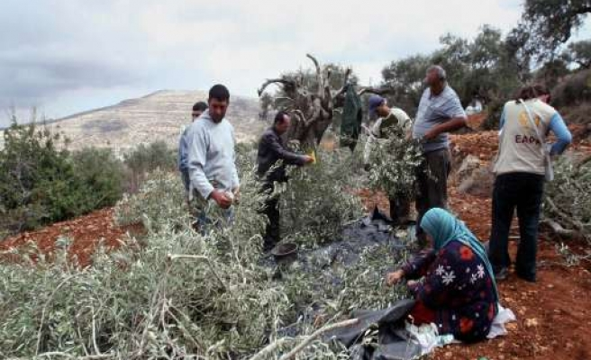 Israeli settler cuts down 20 Palestinian olive trees