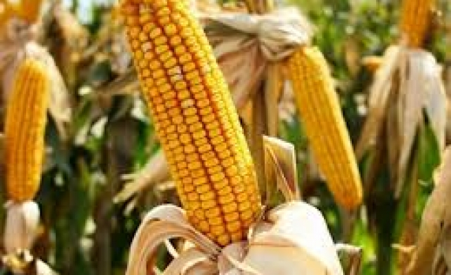 EU ministers urge Brussels to rethink GM maize