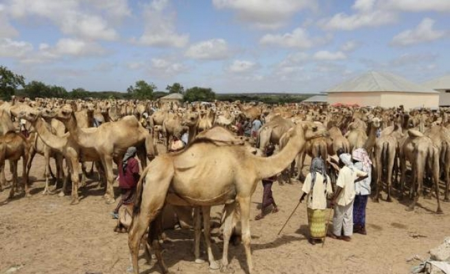 Saudi Arabia suspects African camel imports in MERS outbreak