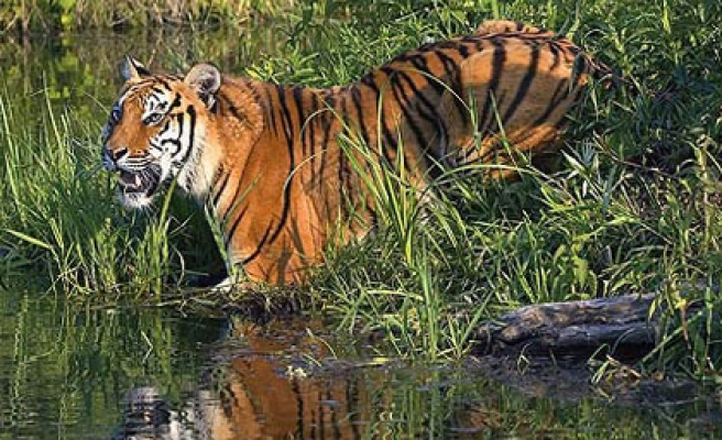 Cambodia urged to act on plans to reintroduce tigers