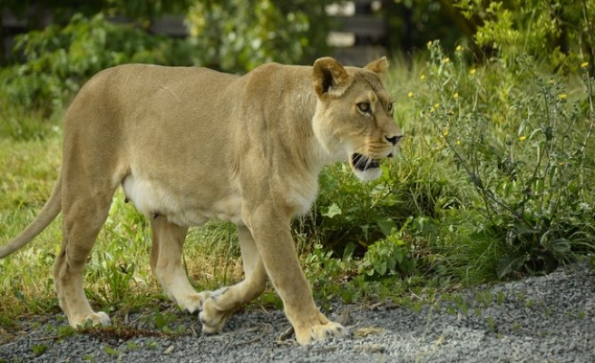 Kenya: New collars track lions, avoid human conflict