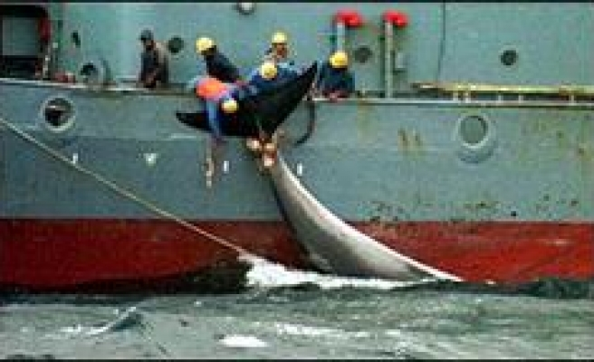 Protests have not stopped whaling: Japan