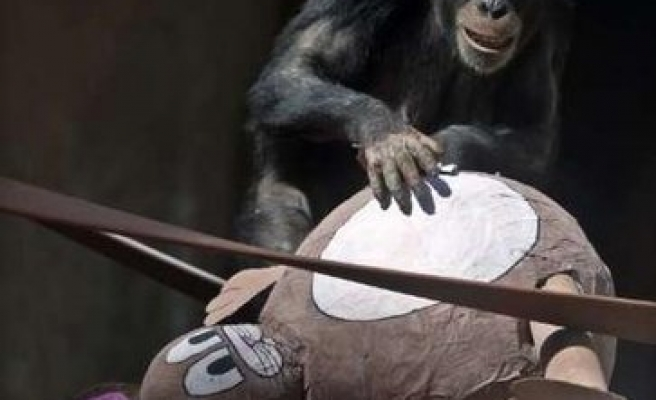 Rare TV footage shows how chimps cope with death