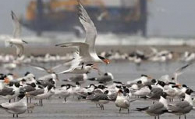 Dead birds in US Gulf are likely BP oil spill victims